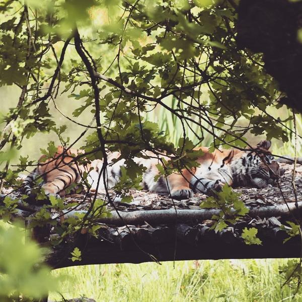 le tigre alangui